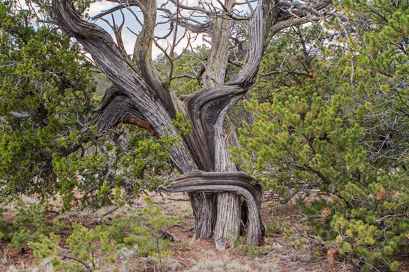 Datil Juniper Tree -10-7D1-052319