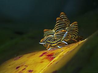 Black-lined sapsucking slug, Goldene Schlundsackschnecke (Cyerce nigra)