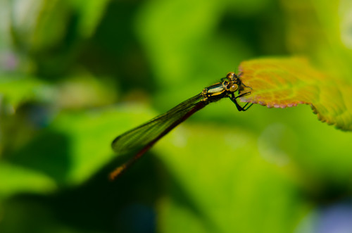 Large red damselfly females in a garden