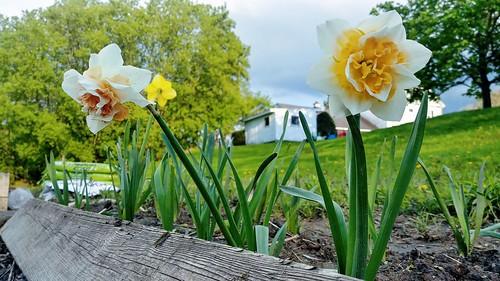 Daffodils - May 17, 2019