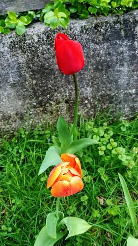 Tulips - May 24, 2019