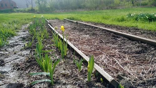 Daffodils - May 10, 2019