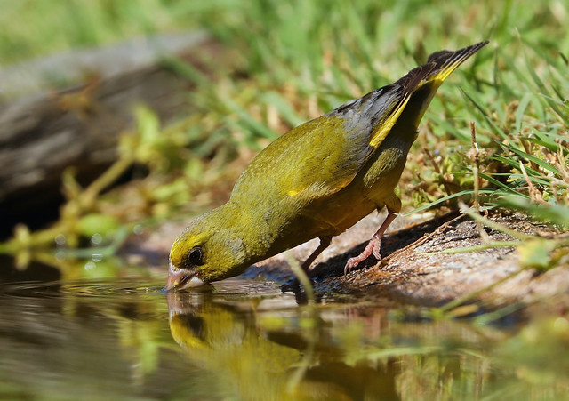 European Greenfinch  --- Carduelis chloris