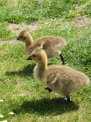 Goslings on the march