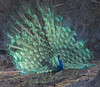 Indian Peafowl by vischerferry