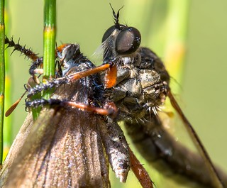 Mating robberfly with common blue butterfly prey