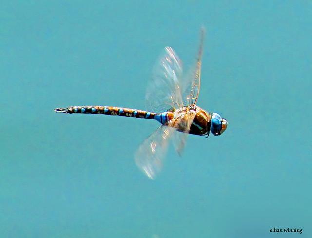 Blue Darner Mosaic Dragonfly - Hand Held