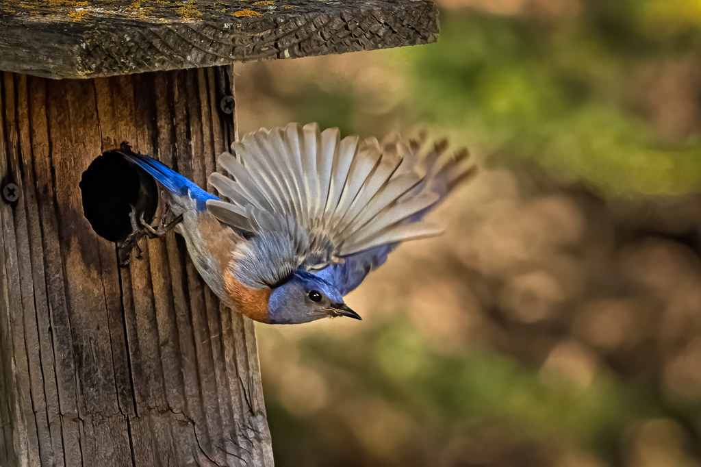 Bluebird Flight