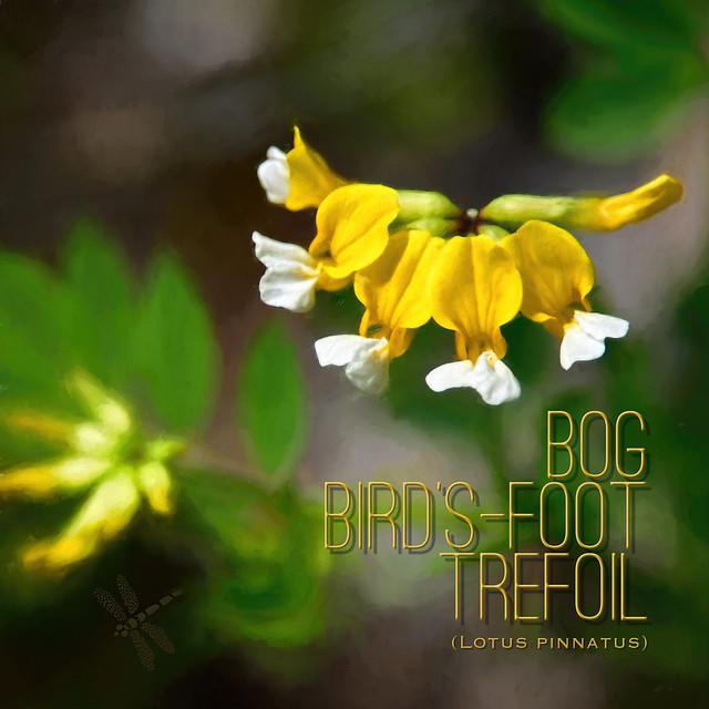 Lotus pinnatus (Bog bird's-foot trefoil) . . .