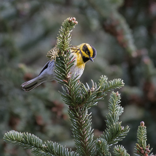 Long series Townsend Warbler