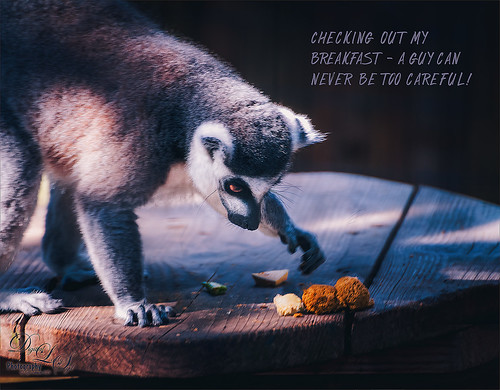 Image of a Ring Tailed Lemur at the St. Augustine Alligator Farm