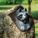 raccoon carving