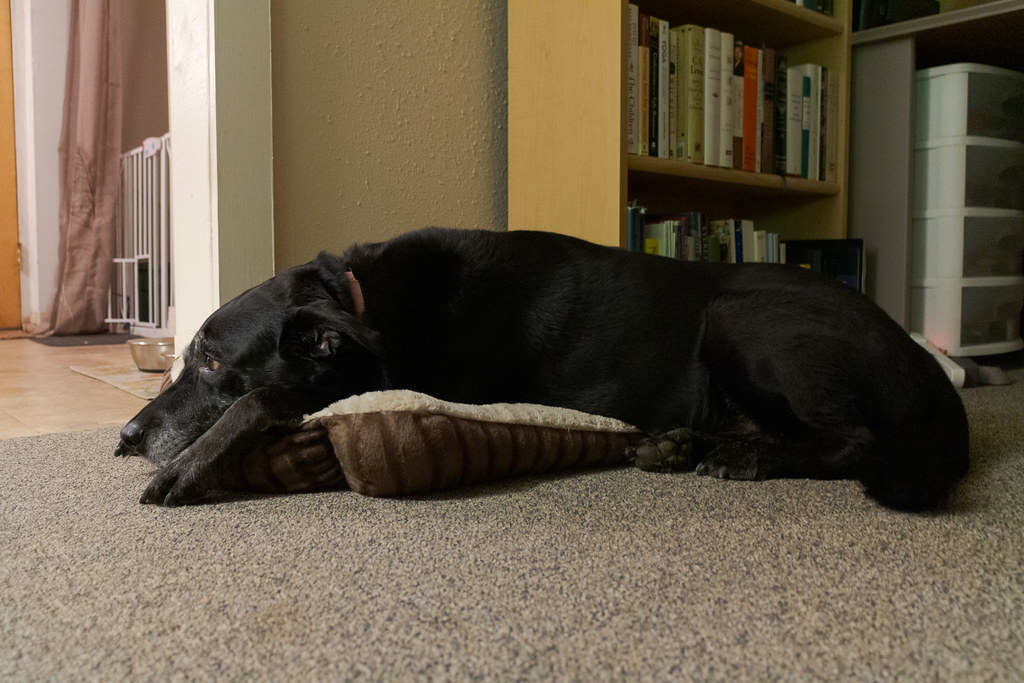 A side view of our dog Ellie resting on one of the new cat beds
