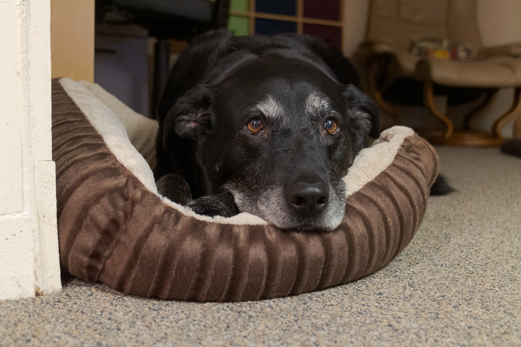 A front view of our dog Ellie resting her head on one of the new cat beds