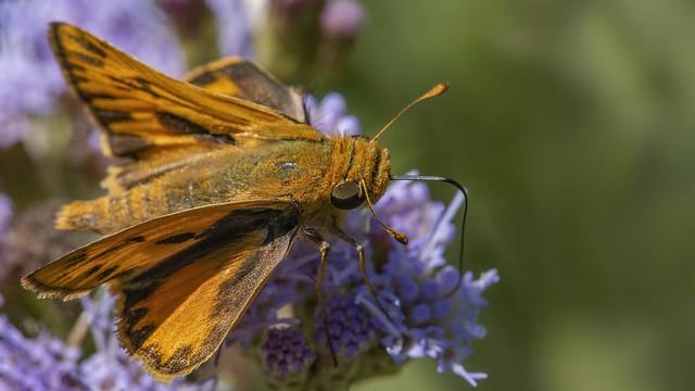 Hylephila phyleus 2019.04.06