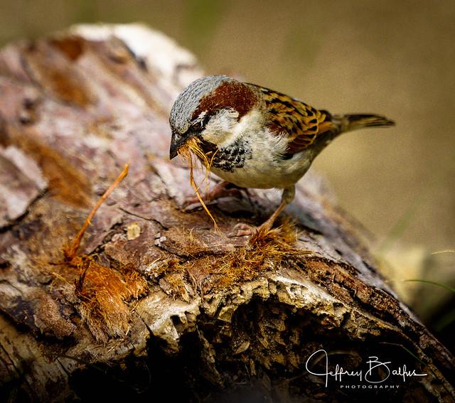 Sparrow 35227