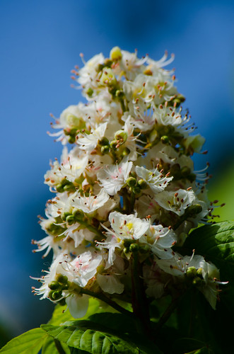 Red flowers, white flowers: horse chestnut
