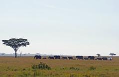 Serengeti Panda 0612b