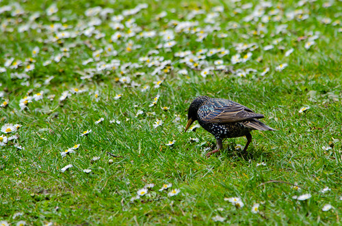 Hungry starlings, West Park