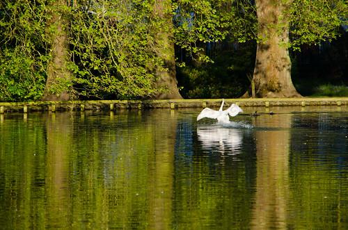 Flying swan, boating lake