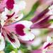 Alstromeria, Pink, White, Green, 5.23.19