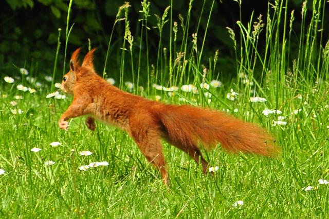 Mai 2019 ... Begegnung der putzigen Art: Rotes Eichhörnchen auf der Flucht vor der Fotografin ... Foto: Brigitte Stolle