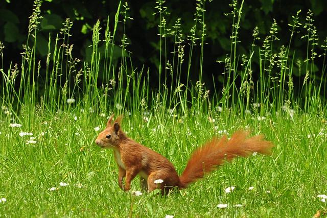 Mai 2019 ... Begegnung der putzigen Art: Rotes Eichhörnchen im Gras ... Foto: Brigitte Stolle
