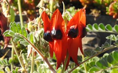 Sturt's Desert Pea at the RBG