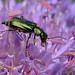 Malachite Beetle ... Malachius bipustulatus