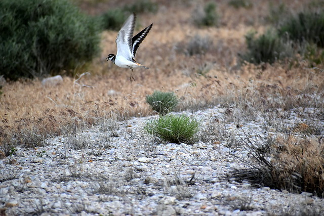 A killdeer takes flight by the causeway to Antelope Island State Park