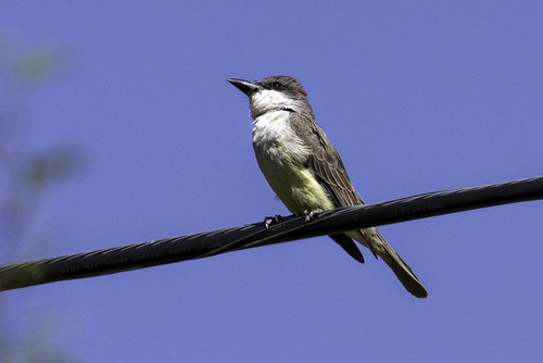Portal, AZ: Thick-billed Kingbird .7772