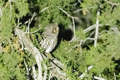 Portal, AZ: Elf Owl