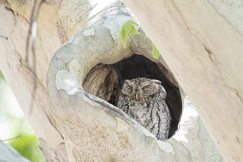 Portal, AZ: Whiskered Screech-Owl .8051