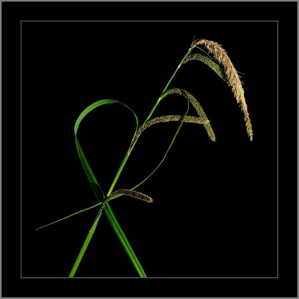 Grashalm (blade of grass)