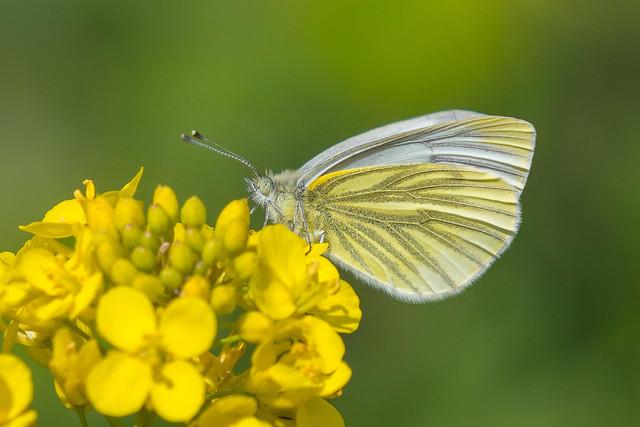 Green-veined White.......