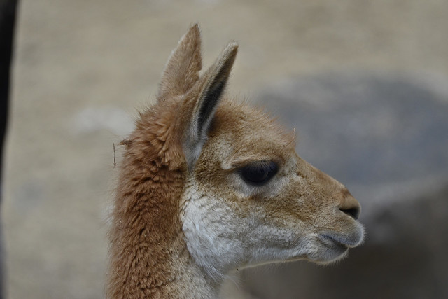 2019.05.24.002 PARIS - Zoo - Guanaco