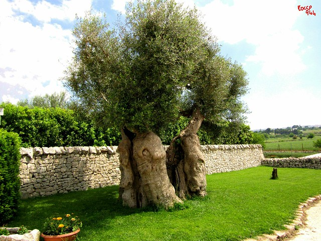 Ulivo - Olive