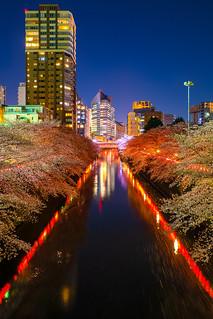 Cherry Blossoms ( Sakura ) Tokyo