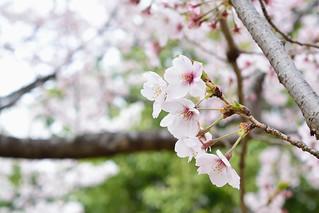 someiyoshino_19408bl