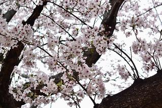 someiyoshino_19408al
