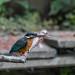 Kingfisher 190524001.jpg