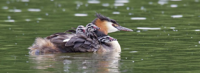 Great Crested Grebes  (In Explore)