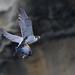 遊隼 Peregrine falcon