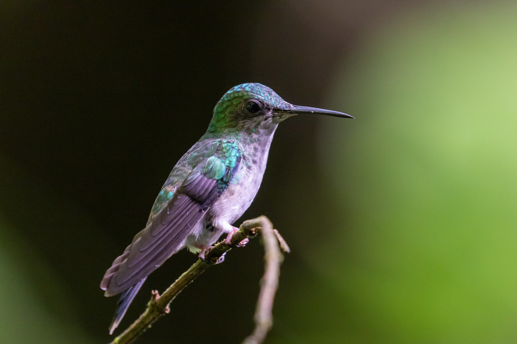 Female Violet-capped Woodnymph (Thalurania glaucopis)