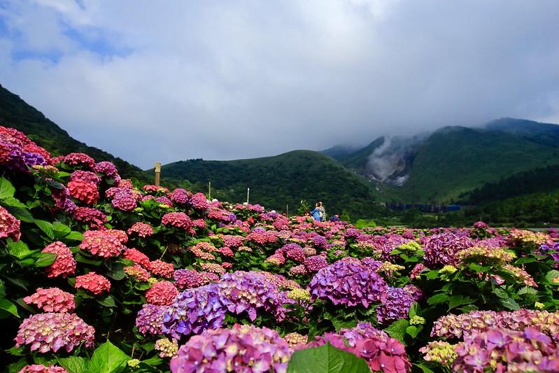 大賞園繡球花 竹子湖頂湖