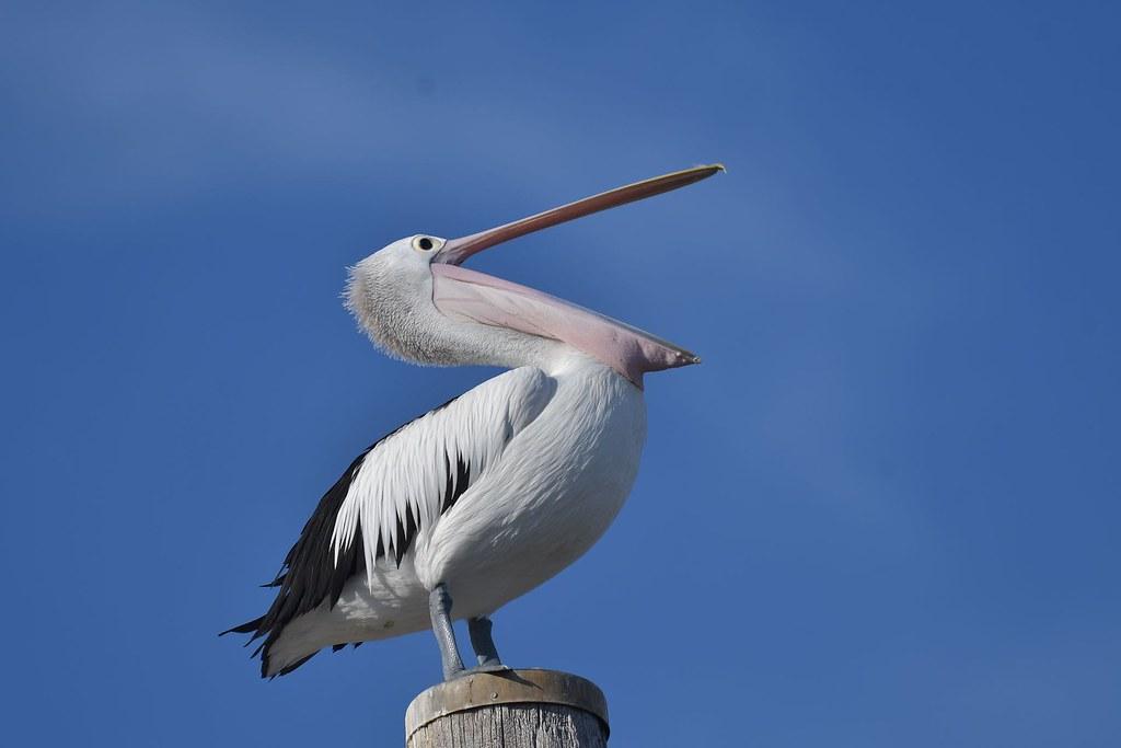 Australian Pelican  ( open wide )