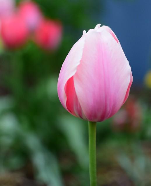 Queen Tulip