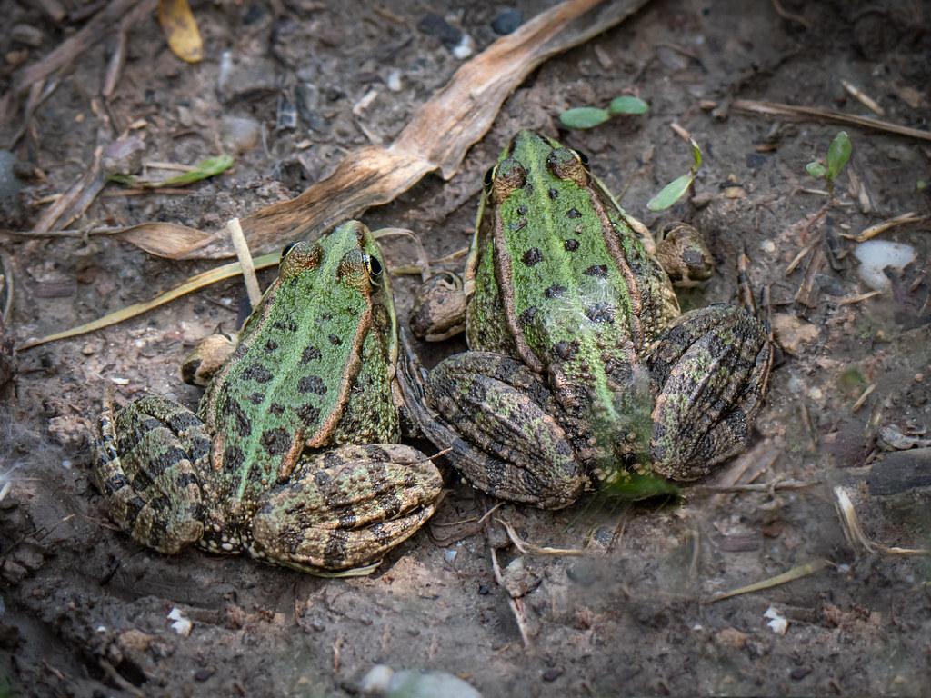 Les grenouilles vertes... 47929110568_ff1d2ce251_b