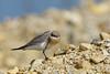 Small Pratincole (Glareola lactea) 灰燕鴴
