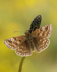 Dingy Skipper Erynnis tages